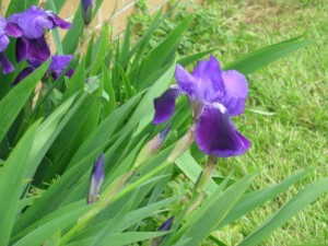 Iris growing at my folks' place...